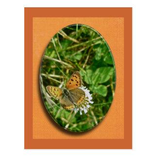 American Copper Butterfly Postcard