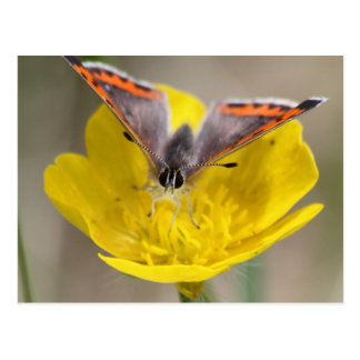 American Copper Butterfly Postcard