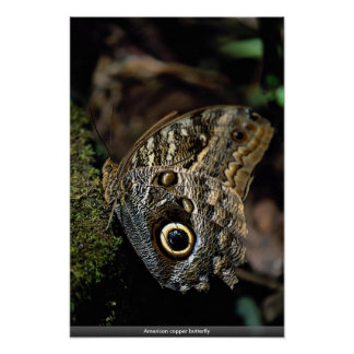 American copper butterfly posters