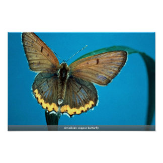 American copper butterfly poster