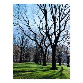American Elm Trees Postcard
