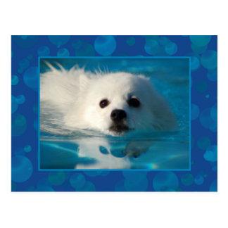 American Eskimo Dog Postcard