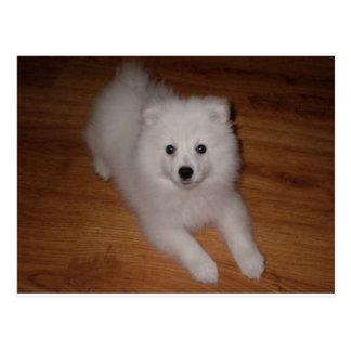 American_Eskimo_Dog_puppy Postcard