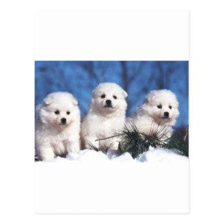 American Eskimo puppy card