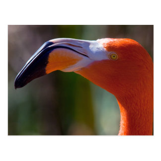 American Flamingo Head 2 Postcard
