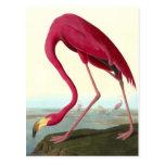 American Flamingo, John James Audubon Fine Postcard