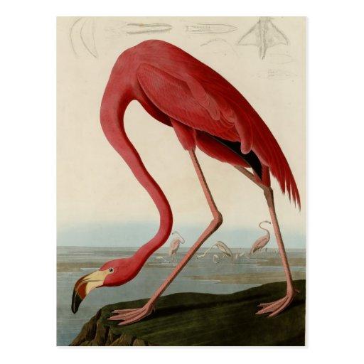 American Flamingo Postcard