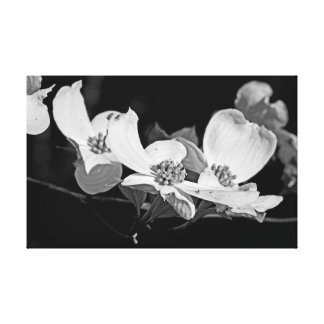 American Flowering Dogwood Blossoms  Black & White Gallery Wrapped Canvas