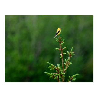 American Goldfinch 1 Postcard