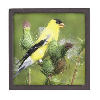 American Goldfinch Photograph Premium Gift Box