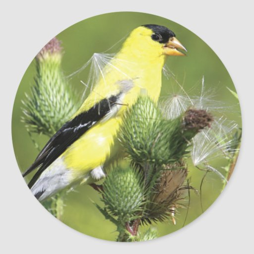 American Goldfinch Photograph Stickers