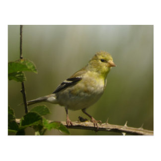 American Goldfinch Postcard