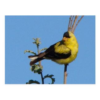 American Goldfinch postcard