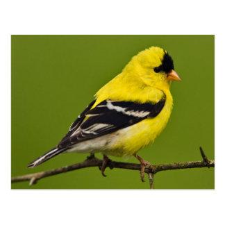 American goldfinch (Spinus tristis) Postcard