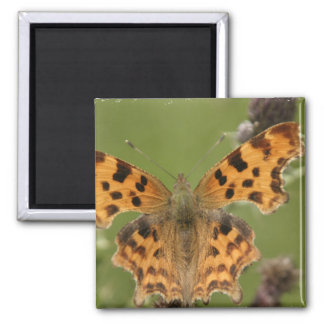 American Lady Butterfly Magnet Magnets