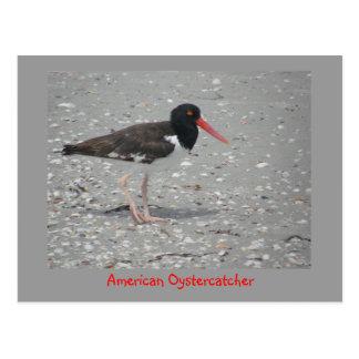 American Oystercatcher Postcard