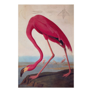 American Pink Flamingo Audubon Vintage Bookplate Poster