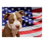 American Pitbull puppy Poster