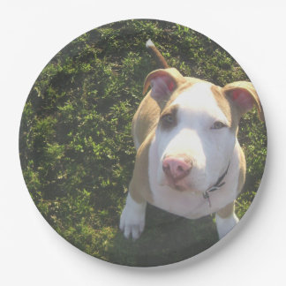 american PitBull terrier Looking Up Paper Plate