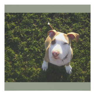 american PitBull terrier Looking Up Poster