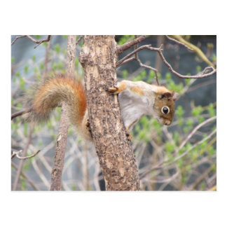 American Red Squirrel Postcard