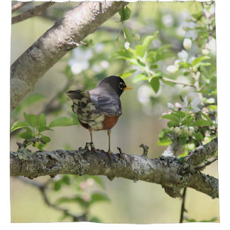 American Robin and Spring Blossoms