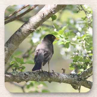 American Robin and spring blossoms Beverage Coaster