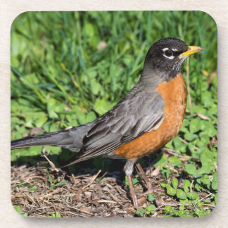 American Robin in the Grass Coasters