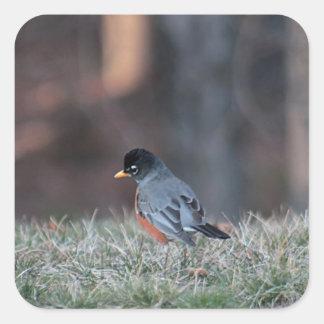 American robin square sticker