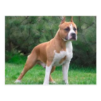 American Staffordshire Terrier Dog Postcard
