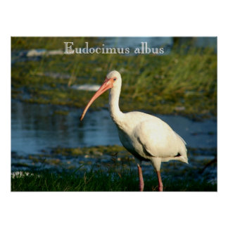 American White Ibis Poster