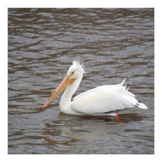 American White Pelican In Breeding Condition Photograph