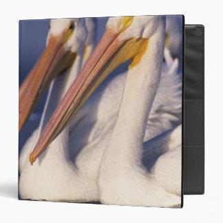 American White Pelican, Pelecanus 3 Ring Binder
