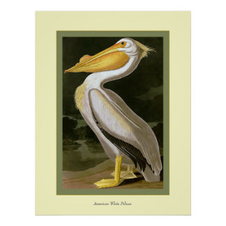American White Pelican Posters
