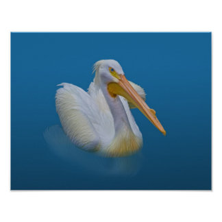 American White Pelican Poster