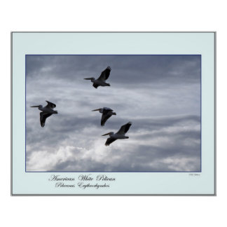 American White Pelicans Print