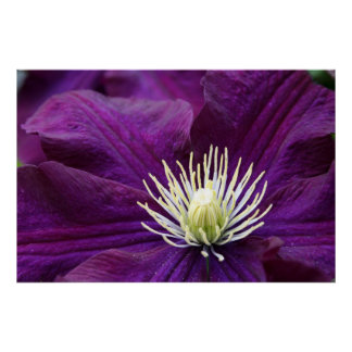 Amethyst Clematis Poster