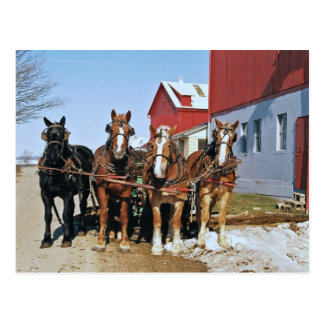 Amish Draft Horse Team-Postcard Postcard