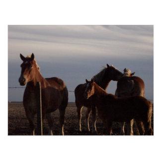 Amish Draft Horses at Sunset Postcard