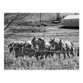 Amish Draft Team at Work Postcard