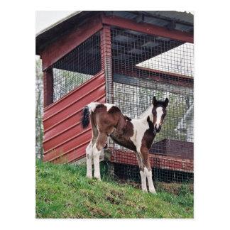 Amish Foal Postcard