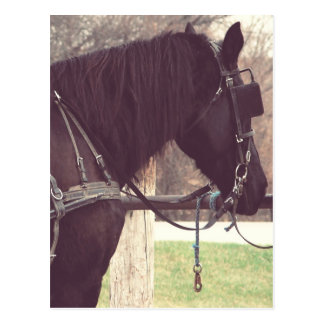 Amish Horse Postcard