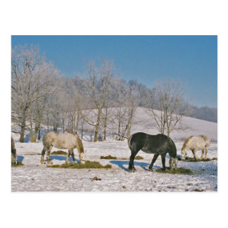 Amish Horses in Pasture-Postcard Postcard
