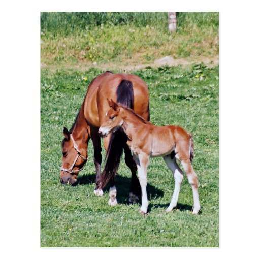 Amish Mare and Foal Postcard