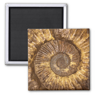 Ammonite (Arietites sp.) from the Lower Jurassic Magnet