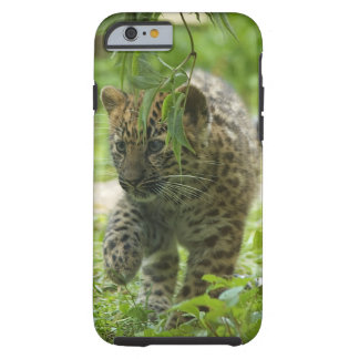 Amur Leopard Cub iPhone 6 Case