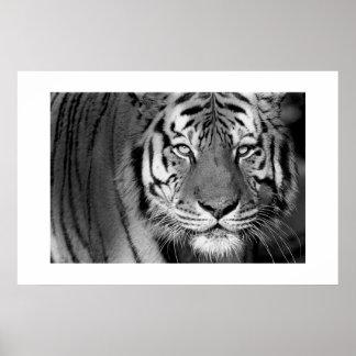 Amur Tiger #1 Poster