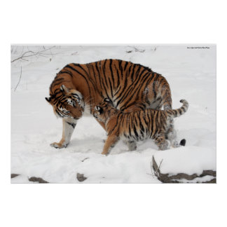 Amur tiger and Cub Poster