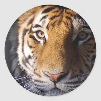 Amur Tiger Classic Round Sticker