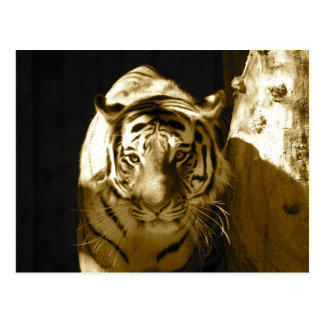 Amur Tiger in Sepia Postcard